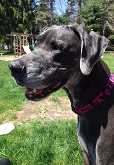 Great Dane owned by April Kuzma-Armour