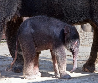 A female Asian elephant calf was born on July 7 at the Fort Worth Zoo.