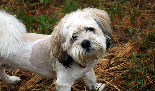 Shihpoo Dog Breed Information
