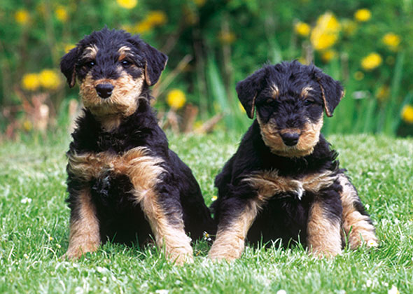 Survey Dog Breeds New Pet Owners Should Avoid - Terrier and rottweiler