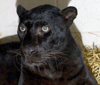 Black leopard rescued in Zanesville, Ohio