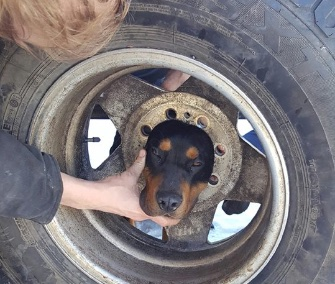 Blaze, a Coonhound puppy, got his head stuck in a tire wheel in Montana.