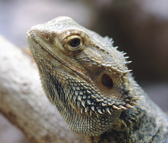 Bearded dragon close-up