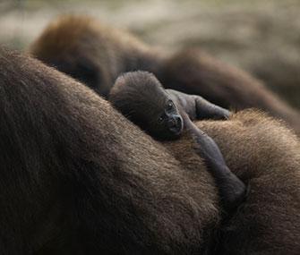 A 4-day-old baby gorilla rides on mom's back at the Ramat Gan safari in Tel Aviv, Israel.