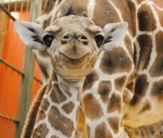 Dobby, a male reticulated giraffe, was born Tuesday at the Denver Zoo.
