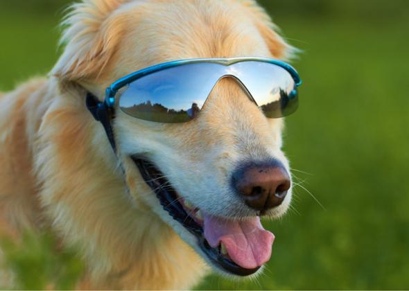 How To Train A Dog To Wear Sunglasses