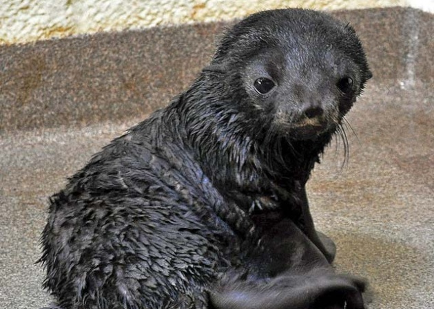 Fur Seal Pup at New England Aquarium