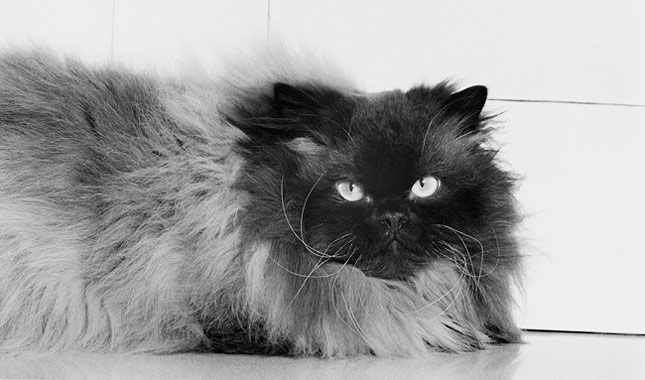 Himalayan cats virginia
