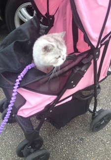 Lily Traveling Cat