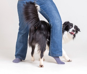 Some dogs try to squeeze between someone's legs when they're excited or anxious.