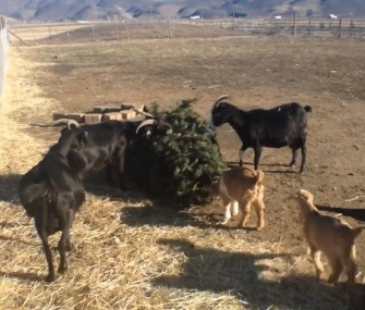Goats in Reno, Nevada, eat the pine needles off Christmas trees.
