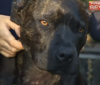 Jeff, a Staffordshire Terrier, is credited with defending his family from a deadly snake.