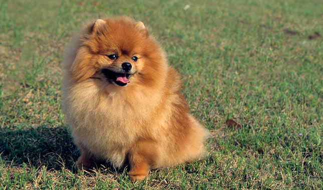teacup pomeranian life expectancy pomeranian breed information 1604