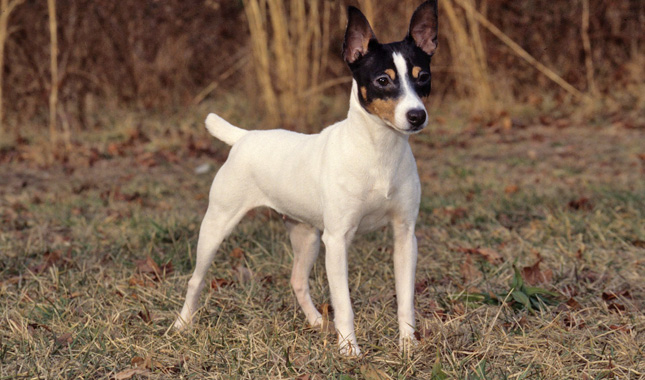 Toy Terrier Small Dogs : Toy fox terrier dog breed information