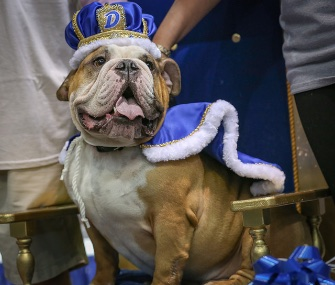 Three months after finding his forever home, Vincent has won the Beautiful Bulldog contest at Drake University.
