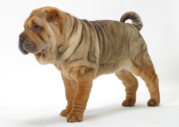 What Type Of Dogs Have Wrinkly Faces And Are Big