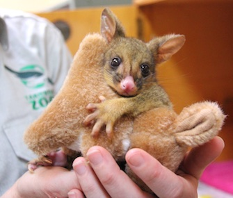 An orphaned possum joey at the Taronga Wildlife Hospital loves to cuddle with a stuffed kangaroo.