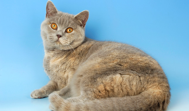 British Shorthair Cat Breed Information