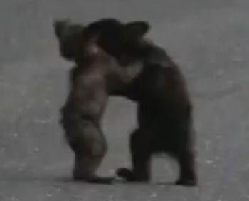Yosemite bear cubs