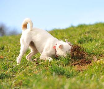 Terrier Digging