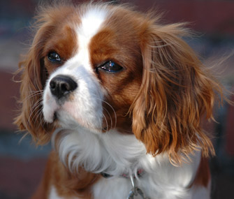 Regal Cavalier King Charles Spaniel