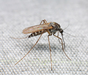 Mosquitoes cause heartworm disease in cats and dogs
