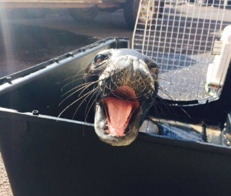 "A Hawaiian monk seal pup was named Kilo, which means ""sassy"" in Hawaiian,"" was rescued Monday."