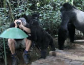 Gorillas make tourist one of their own
