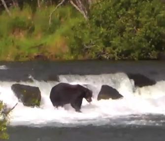 A brown bear catches a salmon in a stream at Katmai National Park in Alaska.
