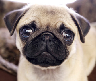 What Are Pugs Dog Like