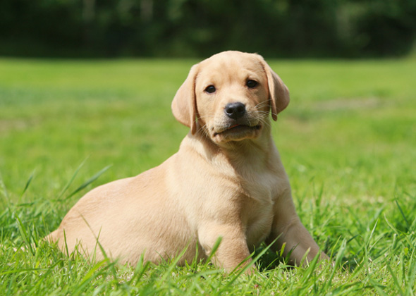 Hypoallergenic Dogs Like Labs