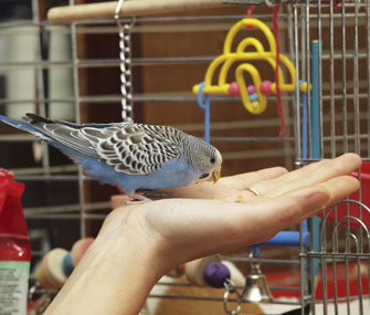 Bird being held outside his cage