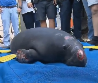 Crews rescued a 1-year-old female manatee who was stuck under a pumping station in Fort Lauderdale, Florida.