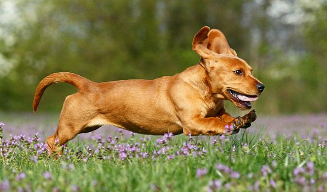 Basador Dog Breed Information