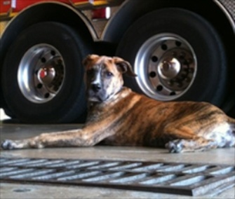 Dempsey, a firehouse dog in Indianapolis, is one of three Top Dog finalists.