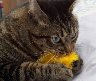Image result for cat playing with toy mouse""