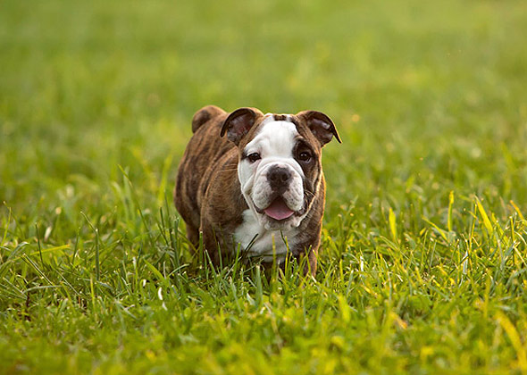13 Apartment Friendly Dog Breeds