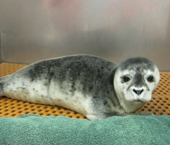 Penny, a days-old harbor seal pup, was found on a Long Island, N.Y., beach.
