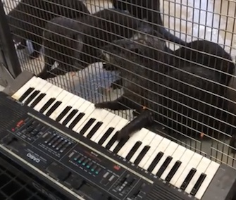 Asian small-clawed otters play the keyboard as part of their enrichment at the National Zoo.