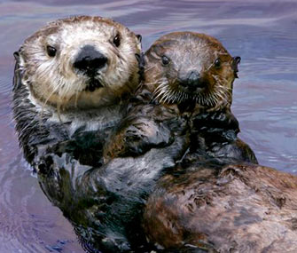 Toola the sea otter