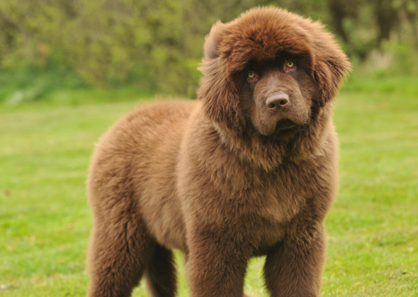 True Giants: The Large Dog Breeds People Search for the Most