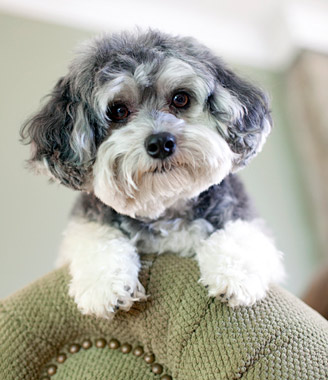 Small Dogs Breed Shelter Behavior