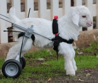 Frostie the baby snow goat takes his first steps at an animal sanctuary in Australia.