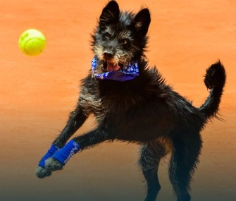 One of six shelter dogs helps fetch balls at the Brazil Open.