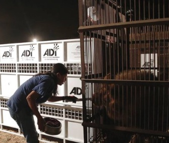 In a massive airlift, 33 lions from South American circuses are being moved to a South African sanctuary.
