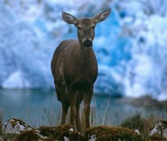 Conservation efforts have helped the Huemul deer, which is a Chilean icon.