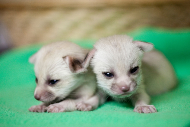 Fennec Fox Kits