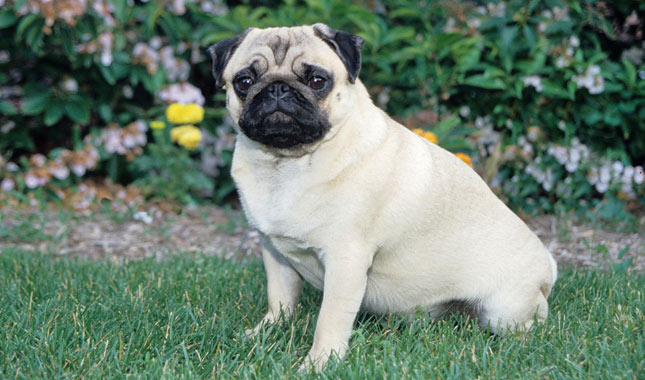 Pug Breed Information ff1342748444