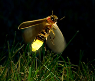 Glowing-firefly-Alamy-A8TC0A-335lc061113.jpg