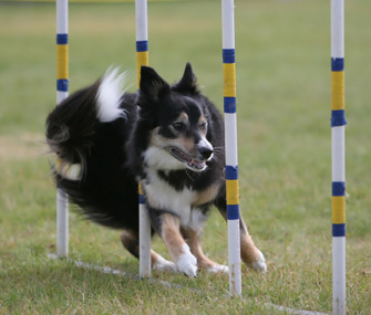 Dog doing agility course